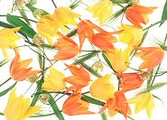 Close_up of colorful tulips.
