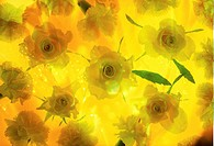 Close_up of bright yellow roses