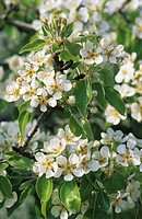 Common Pear Pyrus communis close_up of blossom, England
