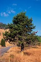 Trees Lodge Pole Pine Pinus contorta latifolia HK00736 S
