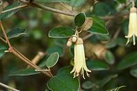 Velvet Correa Correa backhousiana close_up of flower and leaves, Australia