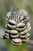 Western Mountain Banksia Banksia oreophila seeds cones empty of seeds after fire, Fitzgerald River N P , Western Australia