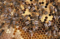 Bees on honeycomb, close_up