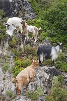 Cephalonia, goats standing on a rocky slope, Ionian Islands, Greece