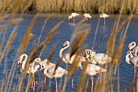 Greater Flamingoes, Phoenicopterus ruber, Camargue, France