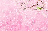 Bird sitting on branch of cherry blossom