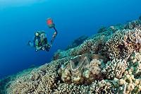 Diver and Giant Clam, Tridacna Squamosa, Micronesia, Palau
