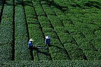 Tea farmers working on a tea plantation, Rueili, Alishan, Taiwan, Asia