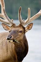 Bull elk Cervus elaphus in velvet antlers chews on some plants, Jasper National Park, Alberta, Canada