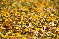 Autumn leaves on the ground Sweden.
