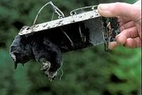 Traps, dead mole in trap, England