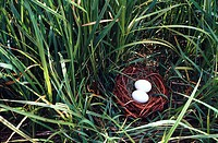 Two eggs in bird nest on the ground with long grass surrounding.