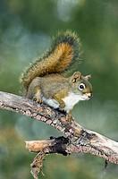 Adult red squirrel Tamiasciurus hudsonicus, west_central Alberta, Canada