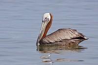 Brown Pelican Pelecanus occidentalis swimming off the coast of Ecuador.