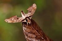 A moth in the Tandayapa Valley of Ecuador.