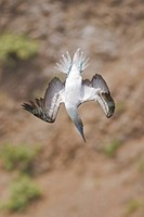 Blue_footed Booby Sula nebouxii searching for food while flying along the coast of Ecuador.