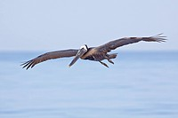 Brown Pelican Pelecanus occidentalis searching for food while flying off the coast of Ecuador.