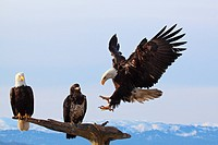 three Bald eagles / Haliaeetus leucocephalus