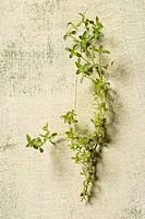 thyme palasianus