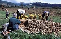 Patato harvest in the town of Koprichitza. BULGARIA