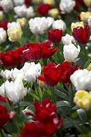 Tulipa Creme, Red, White Lizzard