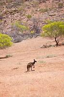 kangaroo in Gawler Ranges, south Australia