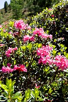 blooming alpine rose