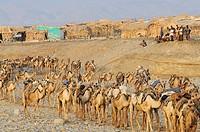 Morning departure of the salt caravans. Ahmedila. Afar region. Ethiopia.