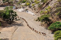 Salt caravan on the way to Mekele, trading centre of the highlands. Afar region. Ethiopia.