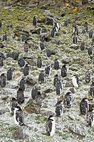 Moulting chinstrap penguins, Hannah Point, Livingstone Island, South Shetland Islands, Polar Regions