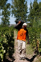 Man working at the vineyard during harvest time, Mendoza, Argentina, South America