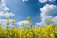Close up of canola against cloudy sky