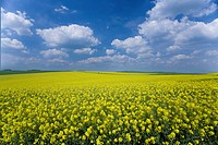 Field of canola and cloudy sky
