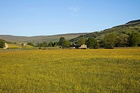 England, Yorkshire, Yorkshire Dales, Field of Buttercups in Swaledale