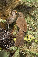 Curve-billed Thrashers (Toxostoma curvirostre), adult feeding young on nest in cholla cactus, Arizona, USA - The most common desert thrasher - Residen...