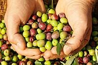 Harvesting olives (arbequina variety), Lleida, Catalonia, Spain,