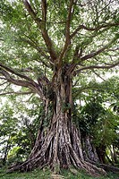 Giant Banjan tree in the forest seen from below with the canopy of arm like branches full with green leaves, Tanna Island, Vanuatu, Melanesia, South P...