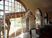 Giraffe looking into living room, Kenya