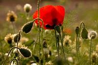 Colseup of a poppy flower in a field in the Plain