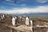 Gentoo penguins (Pygoscelis papua), Carcass Island, Falkland Islands, South America