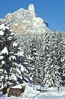 Elk or wapiti Cervus canadensis foraging below Castle Mountain in winter Banff Natl Park Castle Mountain is one of Banffs most famous mountain icons a...