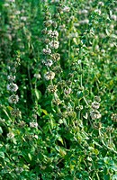 pennyroyal Mentha pulegium, blooming.