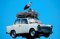 white stork Ciconia ciconia, nest on a Trabant, adult with two youngs
