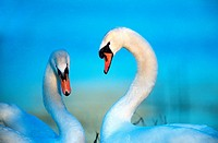 mute swan Cygnus olor, courting couple, Germany