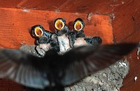 barn swallow Hirundo rustica, chicks in the nest.