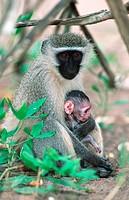 grivet monkey, savanna monkey, green monkey Cercopithecus aethiops.