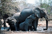 African elephant Loxodonta africana.