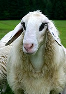 spectacles sheep Ovis ammon f. aries, portrait