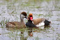 Red-crested Pochard (Netta rufina), male and female, performing courtship display, Neusiedlersee Lake, Burgenland, Austria, Europe