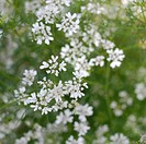 Coriander plant in flower (Coriandrum sativum)